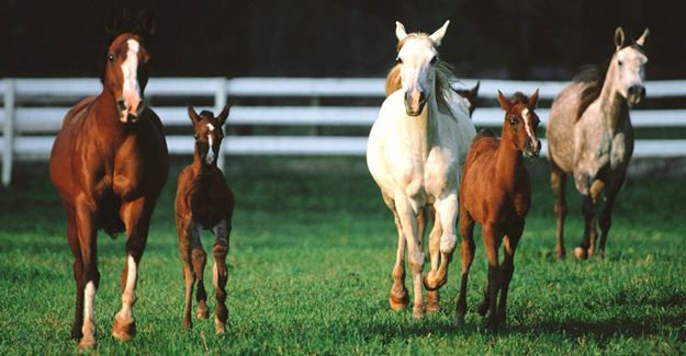 Romper_Room_Arabian_Horses