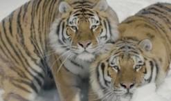 tigris_17_1_2