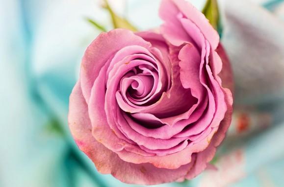 rose-3142529_1280